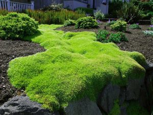 Ирландский мох